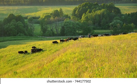 A herd of cows grazing on the hillside in the meadow in summer. Rural landscape. Russian field.Cows in the field. Cows and a shepherd in the field