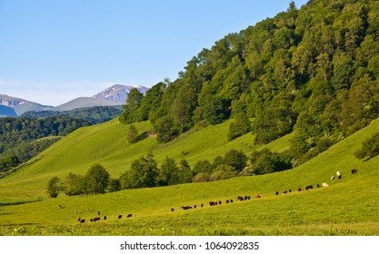 herd of cows grazing on a mountain pasture