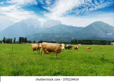 herd of cows grazing on mountain slopes