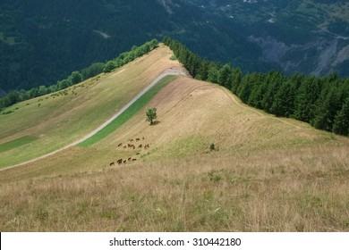 A herd of cows grazing on a slope of a mountain ridge in Albiez Montrond in France