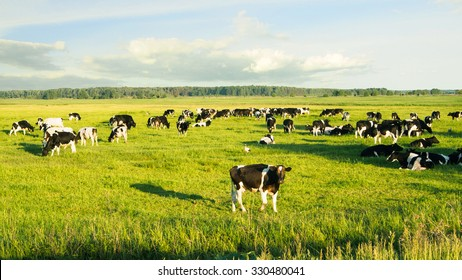 Herd of cows grazing and resting in the middle of the field in summer