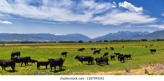Herd of Cows grazing together in harmony in a rural farm in Heber, Utah along the back of the Wasatch front Rocky Mountains. United States of America.