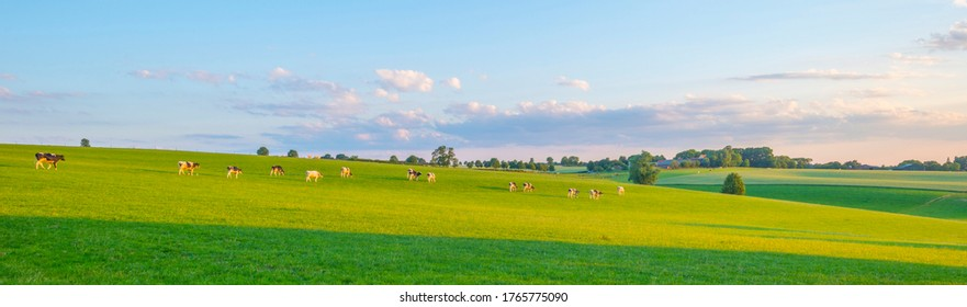 Herd of cows in a green grassy meadow on the slope of a hill below a blue sky in sunlight in summer