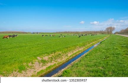 Herd of cows in a green meadow below a blue sky in sunlight in spring