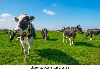Herd of cows in a green meadow below a blue sky in sunlight in spring