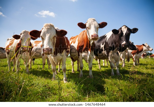Herd of cows in the green pasture looking