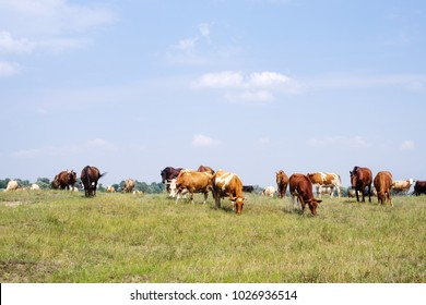 Herd of cows and horses are grazed on a meadow in summer sunny day