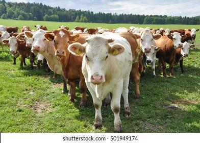 Herd of cows looking curious
