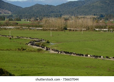 A herd of cows makes its way to the shed for the afternoon milking on the West Coast of New Zealand