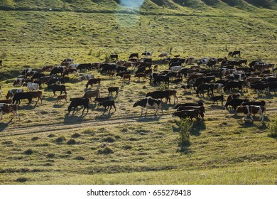 A herd of cows in a meadow, near the hills