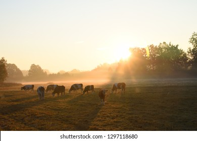 A herd of cows in the morning on a meadow