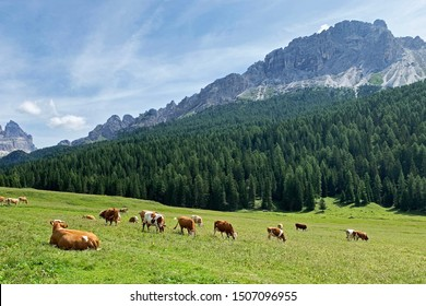 A herd of cows on a background of green pasture, coniferous forest, high mountains and blue sky. Rural landscape in the Dolomites, Italy. Simmental breed of cows.