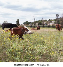 Herd of cows. Cows on the field