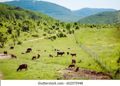 Herd of cows. Cows on the field. cows grazing at the green meadow