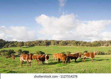 A herd of cows on a green field in Western Australia on a beautiful sunny day.