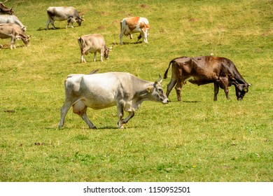 herd of cows on green grass of alpine pasture, shot in bright summer light at Cainallo Alp, Lecco, Lombardy, Italy