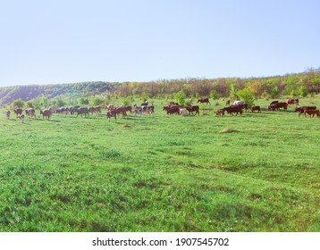 Herd of cows on the green meadow .  Cattle on the pasture  - Shutterstock ID 1907545702