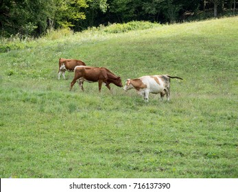 herd of cows on a green meadow