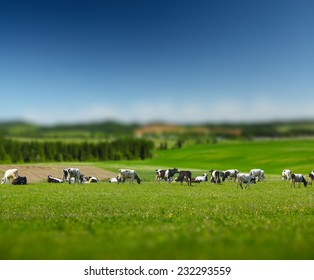 Herd of cows on a green sunny meadow with fresh grass. Focus on cows, edges are blurred