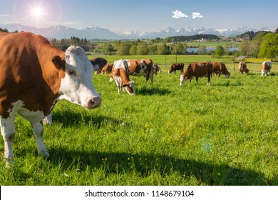 herd of cows on pasture in region Allgäu, Bavaria