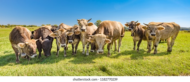 A herd of cows on a pasture in summer in Bavaria