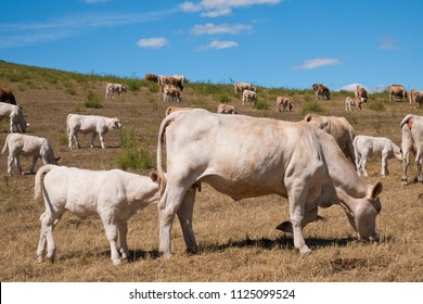 A herd of cows on the pasture on the summertime