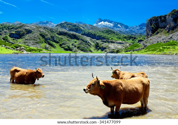 A herd of cows on the watering. Lake Ercina. Cantabrian. Covadonga. Asturias. Spain