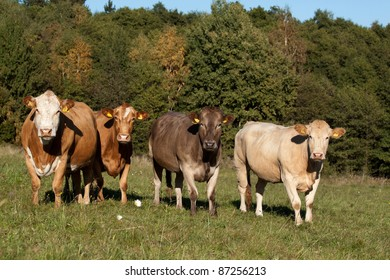 A herd of cows in the pasture