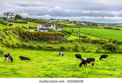 Herd of cows in pasture in County Antrim of Northern Ireland