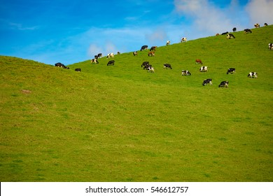 Herd of Cows in a pasture on green grass at hills. Country side landscape with blue sky and clear field. A lot of copy space at the lower part of image