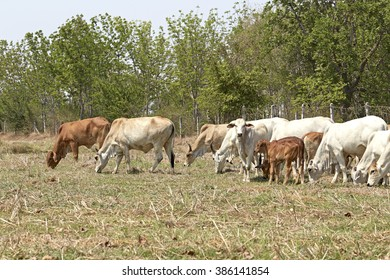 Herd of cows at the pasture, thai