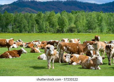 herd of cows resting at green pasture