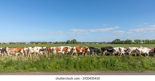 Herd of cows in a row, in line, one behind the other, one after another, in sequence, on end, in single file, bunch of cattle, walking to be milked