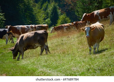 A herd of cows - Slovak countryside - Milk cows