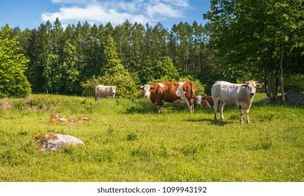 Herd of cows at summer green field in Czech Republic