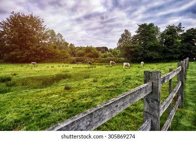 Herd of cows at summer green field. England. Rural landscape