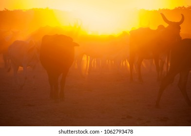 Herd of cows at sunset, India