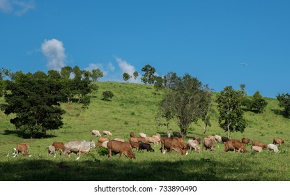 Herd of cows walking and eating green grass in a meadow.