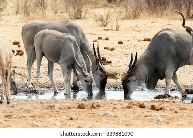 herd of cpmmon eland drinking from waterhole, Etosha national Park, Ombika, Kunene, Namibia. True wildlife photography