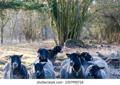 Herd with curious black sheep in a sunlit meadow by springtime