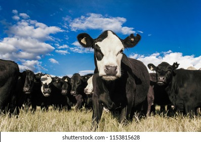 Herd of curious cattle in dry summer field, New Zealand