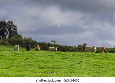 A herd of curious livestock look over a hill in a green field in Ireland.