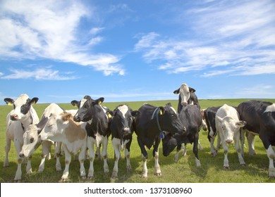 Herd of curious looking white german cows standing on a green meadow