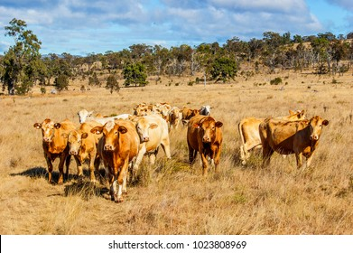 Herd of curious young Charolais cross Brahman cattle on grazing land on an Australian cattle property, South East Queensland. The Charbray are versatile large muscled beef breed with good temperament.