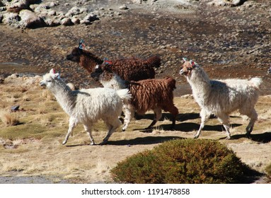 Herd of cute alpacas with earrings, shore of laguna colorada, Red laguna, Andes mountains, Bolivia