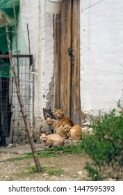 Herd of cute brown and white cats sitting at the porch in front of entrance doors to village house