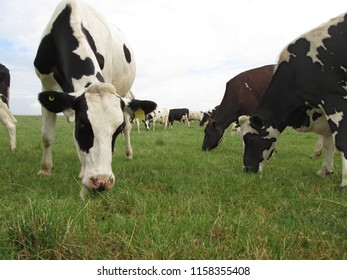 a herd of dairy cows grazing in a field