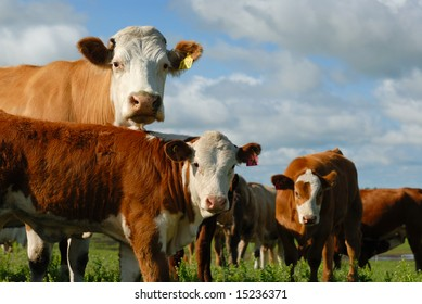 Herd of dairy cows looking at you.