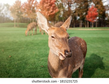Herd of dappled deer, young and adult, eating green grass on the meadow at national park, wild animals, nature and planet, autumn outdoor