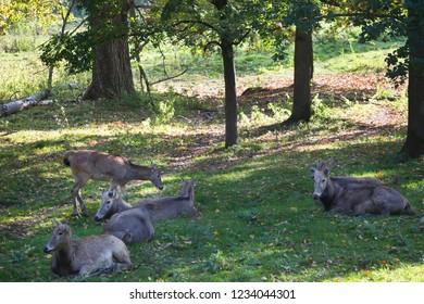 herd of Père David's deer, Elaphurus davidianus, resting and lying on the open forest floor